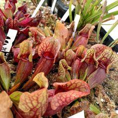 Carnívoras #sarracenia  #sarraceniacrazy  #purpurea  #carnivorousplants #plantascarnivoras #plantascarnivorasbrasil by joaopauloelidiadaiane