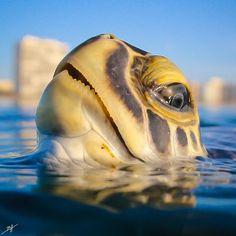 A green sea turtle getting a breath of fresh air : pics