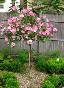 Rose Polar Joy A Tree Hardy Enough For Zone 4 Finally Trees Are Often Bit Of Work In The North And Midwest Jo Plants Misc