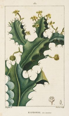 Title: Euphorbe Artist: Pierre Jean François Turpin - Date: Technique: Stipple engraving printed in colour and with original hand colouring. Medicinal botanical stipple engraving by revered French floral illustrator, Pierre Jean François Turpin. Vintage Botanical Prints, Botanical Drawings, Antique Prints, Vintage Prints, Vintage Botanical Illustration, Illustration Botanique, Plant Illustration, Botanical Flowers, Botanical Art