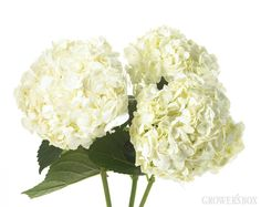GrowersBox.com: Flowers: White Hydrangea 40 Stems: Wholesale Flowers  Hydrangea are beautiful flowers that are affordable, easy to arrange, and available year-round! If you are looking for an easy centerpiece or simple and elegant decorations for your wedding or event - think Hydrangea!