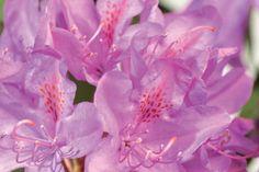 Rhododendron 'Roseum Elegans'    Le rhododendron 'Roseum Elegans' est un rhododendron à feuillage persistant et à grandes fleurs mauves. Son feuillage vert foncé se marie magnifiquement avec la couleur de ses fleurs. Cette espèce fleurit de mi-mai à juin.