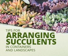 Succulents are so beautiful in their own right, so it really doesn't take much to create a great arrangement for them.These techniques will help your arrangements really stand out!Over the past few years I've created a lot of succulent arrangements for myself, for my ebooks, for the Idiot's Guide, and for my friends