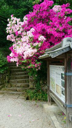 Azaleas at green path, Honda-machi, Kanazawa, Japan