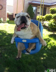 That's it.  My mission this weekend will be to buy a swing for my toddler.  But with the intention of putting my bulldog in it.