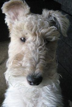 An elegant Wire Fox Terrier