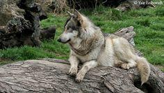 wolf on a log  2 by Yair-Leibovich.deviantart.com