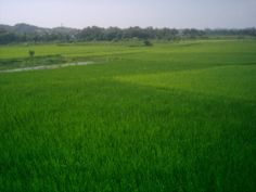 Green, that's why Nobel Laureate Rabindra Nath Tagore wrote - Sonar Bangla (Golden Bengal)