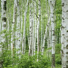 Birch Trees (betula Sp.), Summer Photograph by Shunsuke Yamamoto Photography - Birch Trees (betula Sp.), Summer Fine Art Prints and Posters for Sale