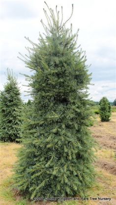 Swiss Stone Algonquin Pillar Pine Pinus Cembra 39 Algonquin