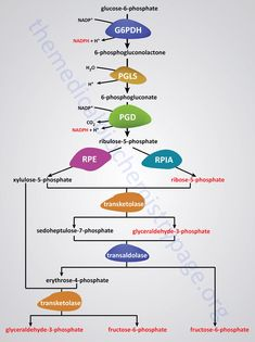 Non-oxidative reactions of the pentose phosphate pathway