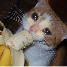 Sad Cat Meme, Cute Cat Memes, Cute Love Memes, Funny Animal Memes, Funny Cats, Funny Animals, Cute Animals, Funny Memes, Funny Looking Cats
