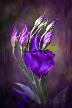 Purple flowers are a great way to add interest to your yard or landscape. See some of our favorite purple garden flowers! Purple Love, All Things Purple, Shades Of Purple, Purple Art, Pink, Purple Flowers, Beautiful Flowers, Simply Beautiful, Purple Poppies