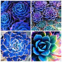 100 Seeds Blue Succulents Witchford Lithops Cactus Seeds Beautiful Stone Flower Seed Pseudotruncatella Perennial for Home Garden Cactus Seeds, Succulent Seeds, Bonsai Seeds, Bonsai Plants, Succulent Bonsai, Climbing Clematis, Clematis Plants, Flowers Perennials, Flowering Plants