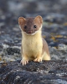stoat. ^-^ aka short-tailed weasel, is a species Mustela erminea, native to Eurasia and North America