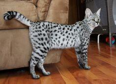 Graffiti Silver F1 Savannah Cat (F1 hybrid: 50% - domestic cat and 50% - african serval)