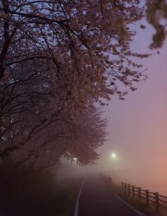 Misty cherry blossom road | I woke up really early to take photos of cherry blossoms with stars. But I couldn't. It was too foggy to see starts in the sky. Instead I found fog makes things beautiful and I took some kind of mysterious photos.  夜の星をバックに桜を撮影するため、思いっきり早起きしましたが、残念ながら濃霧で星が全然見えませんでした。でも、せっかく早起きしたので、霧を使えば幻想的な写真が撮れるかもと思い早朝(真夜中?)の桜の木の下をお散歩して撮影しました。