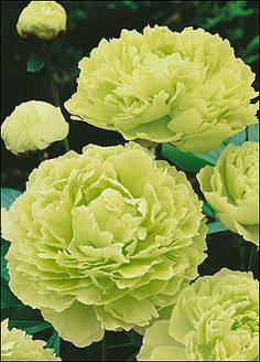 Tree Peony Jade///I have a peony tree in pink, now I need a green one!