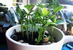 Cómo germinar una semilla de limón de manera muy sencilla