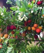 Monrovia - Compact Strawberry Bush (Arbutus unedo 'Compacta')