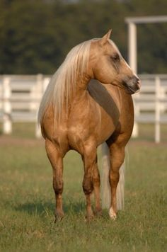 Wimpys Little Step, palomino quarter horse stallion