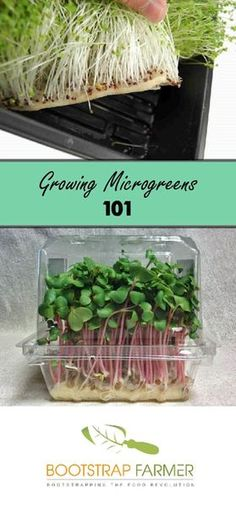 Tips to grow microgreens at home