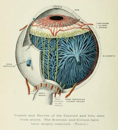 Non-pathological eyeball anatomy.  Eye, Ear, Nose, and Throat: A Manual for Students and Practitioners. A.G. Wippern, 1900.