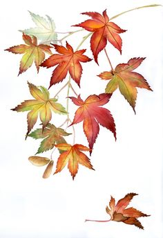 18 ideas maple tree drawing watercolor painting fall leaves for 2019 Botanical Drawings, Botanical Art, Botanical Illustration, Watercolor Illustration, Motif Floral, Art Floral, Watercolor Leaves, Watercolor Paintings, Watercolor Wallpaper