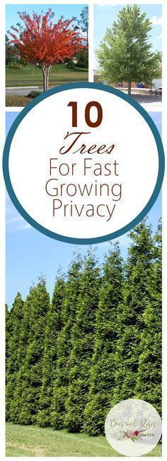 10 Trees For Fast Growing Privacy - Bees and Roses  Shade Trees, Fast Growing Shade Trees, Growing Shade Trees, How to Grow Shade Trees, Gardening, Growing Trees, Tree Care, Backyard Privacy, Backyard Privacy Hacks, Landscaping, Landscaping Tips, Popular Pin #ShadeTrees #Landscaping #Gardening #landscapingtips #shadegarden #landscapinggarden