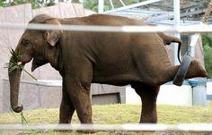 Gay Elephant Ninio