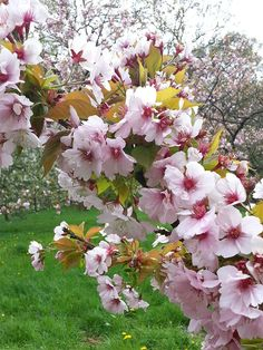 Gorgeous shapes and colours on a Japanese prunus in Westonbirt's Silk Wood cherry collection