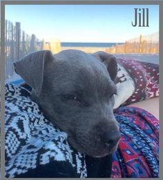 Meet Jill, a Petfinder adoptable Pit Bull Terrier Dog | New York, NY