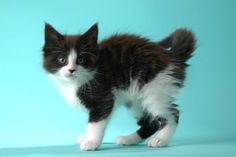 Maine Coon, Black Solid & White (n 09). HOG II DallasFort Worth of Shadowlady Maine Coon Cats, Kitty Cats, Cool Cats, Snuggles, Tuxedo, Kittens, Kitty, Animals, Cats