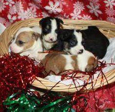 Pup 7: Feist, Dog; Pensacola, FL