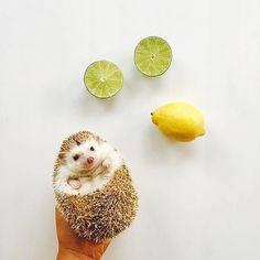 The cuteset baby hedgehog @ameliahedgehog. ! ✨