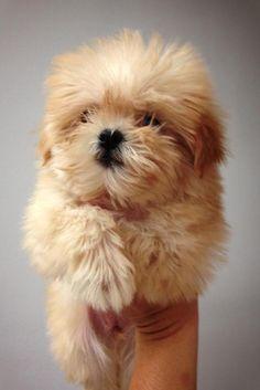 Golden Brown Maltipoo Puppies
