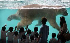 That's one big bear! Inuka, the polar bear born in the tropics, swims in his new enclosure at Singapore Zoo. Singapore Zoo, Visit Singapore, Arctic Habitat, Philippines, Polar Bears International, Photos Of The Week, Natural World, Habitats, Cute Animals