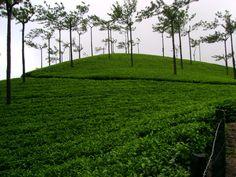 Tea Gardens, Munnar, Beautiful Kerela, India