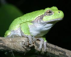 Frog | true wild life frog frogs are amphibians creatures that inhabit both ...