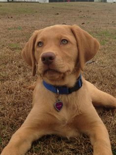 """""""Rocky"""" the Fox Red Lab from Keepsake Labs To Gift, To"""