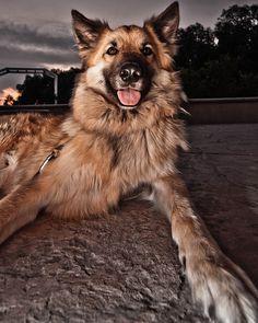 Belgian Tervuren #dogs #animal #belgian #tervuren