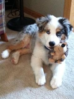 Australian Shepherd Puppy & toy hedgehog!