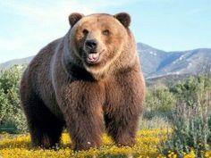 Nuova presenza di orsi in Alto Molise: guarda il video