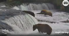 Video:  Watch live webcam of bears in the wild