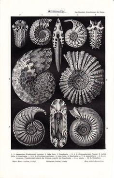 Hand drawn illustrations of Ammonites by German naturalist Ernst Haeckel (1834 -1919).