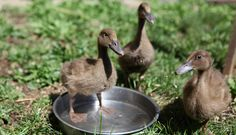 Couldn't resist this story about three rescued ducklings named after some of our favorite teas! Chai, Masala, and Yerba Mate