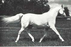 Koheilan I (Кохейлан I), жеребец, 1922 г.р.  Масть: серая  Порода: арабская  Рожд. в Польше