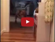 Pit Bull Tries Really, Really Hard To Walk Past A Sleeping Cat Without Waking It Up
