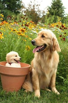Golden gardening - the look on that puppy's face is adorable!