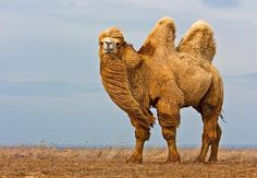 Bactrian Camel, from the Rostov Steppe, Russia Big Animals, Rare Animals, Cute Funny Animals, Animals Of The World, Animals And Pets, Especie Animal, Animal Skulls, Alpacas, Bactrian Camel